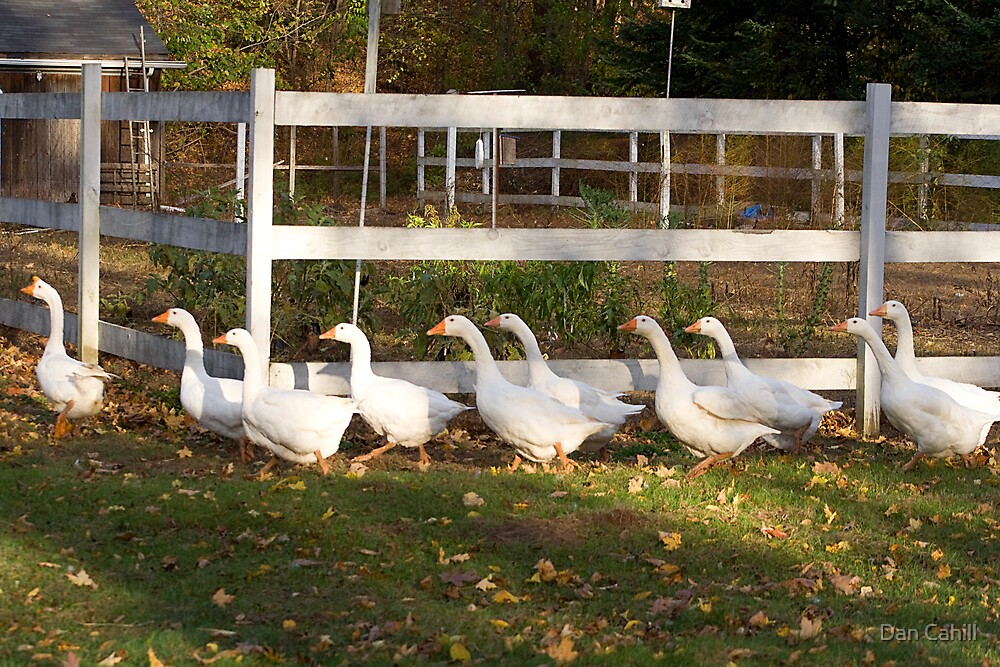 Geese On Parade by Dan Cahill