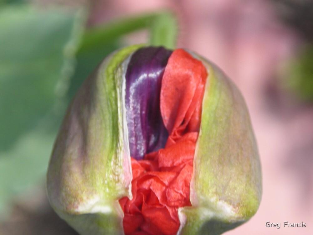 Poppy #2 by Greg  Francis