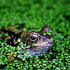 "Frog in the pond - ""I can see you.."" by allisond"