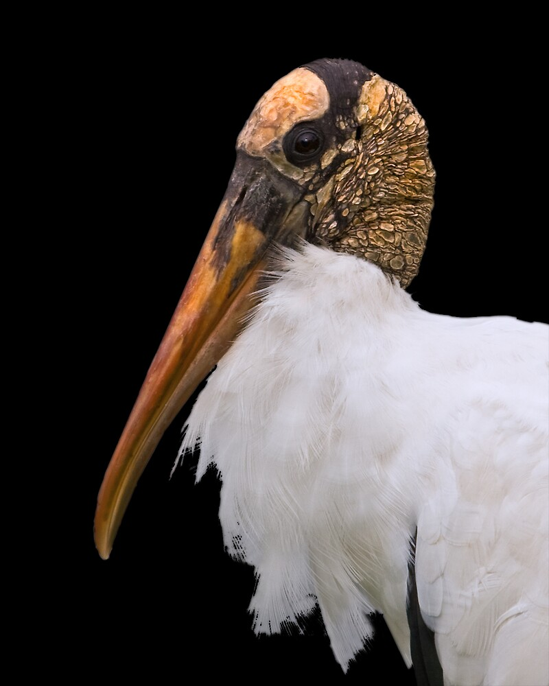 Wood Stork Portrait in Black by Delores Knowles