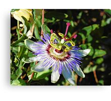 Passion Flower 6 Canvas Print