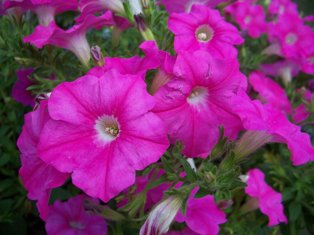 Pink Flowers by brandie