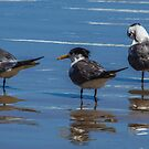 Crested Terns #1 by Bette Devine