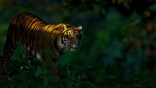 Tiger by Mundy Hackett