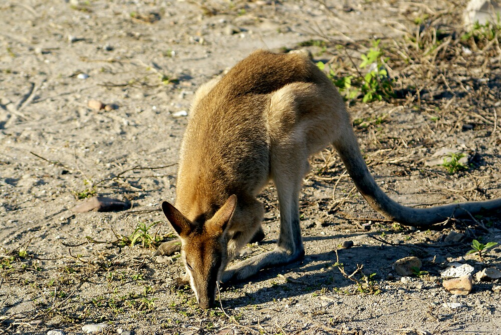 Wallaby by Shona