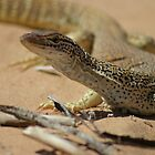 Sand Goanna by robertp