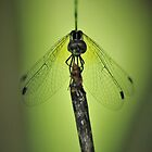 Resting dragonfly by AnnaKT