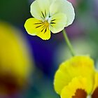 Little Yellow Pansy by autumnleaf