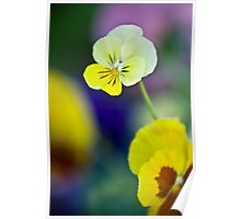 Little Yellow Pansy Poster