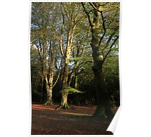New Forest Beeches Poster