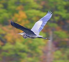 blue heron by cheltara
