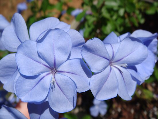 Plumbago by Jessie Harris