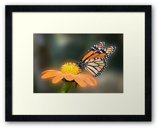 Monarch Butterfly closeup  by Eyal Nahmias