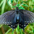 Pipevine Swallowtail butterfly by Eyal Nahmias