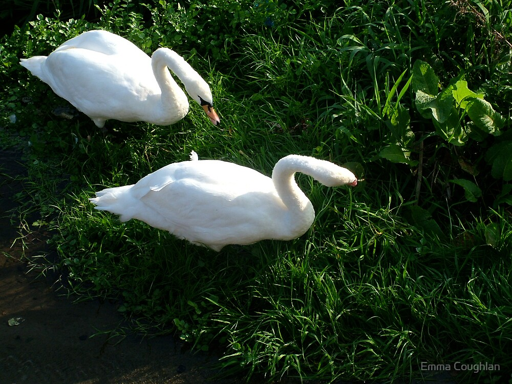 Swans by Emma Coughlan