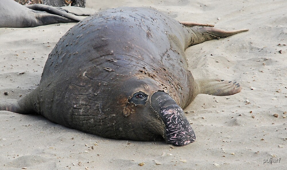 Elephant Seal Molting by puliarf
