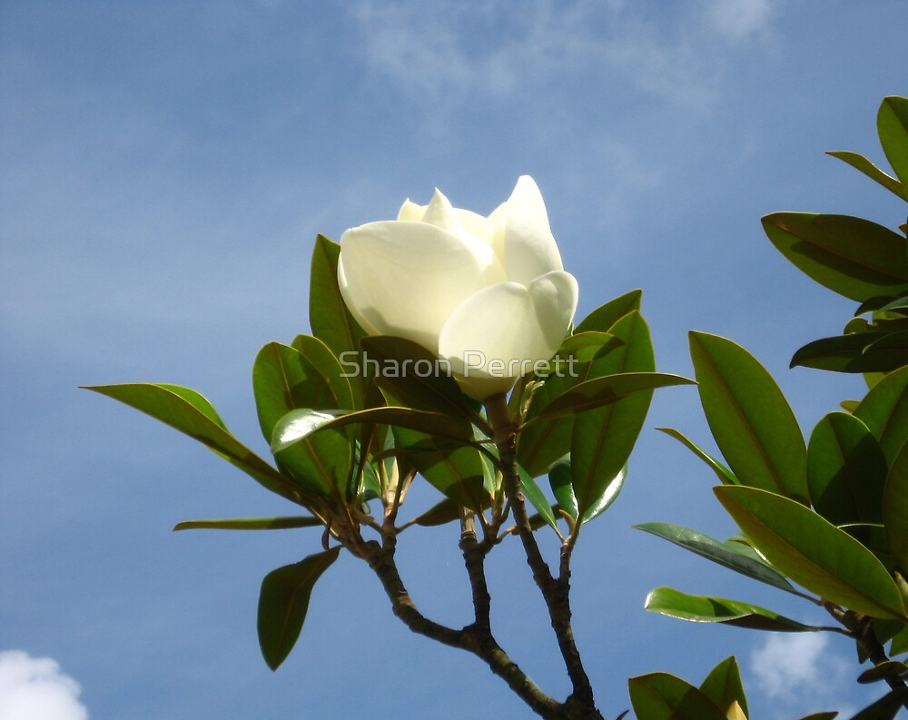 Magnificent magnolia (2) by Sharon Perrett