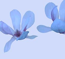 Magnolia 272 Two Big Flowers by wolfcat