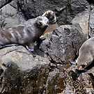 Bruny Island Sea Lions by Jessica Fittock