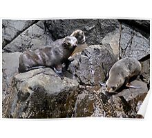 Bruny Island Sea Lions Poster