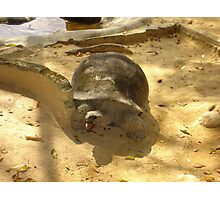 giant tortoise Photographic Print
