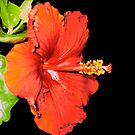 a red hibiscus for you ! by MardiGCalero
