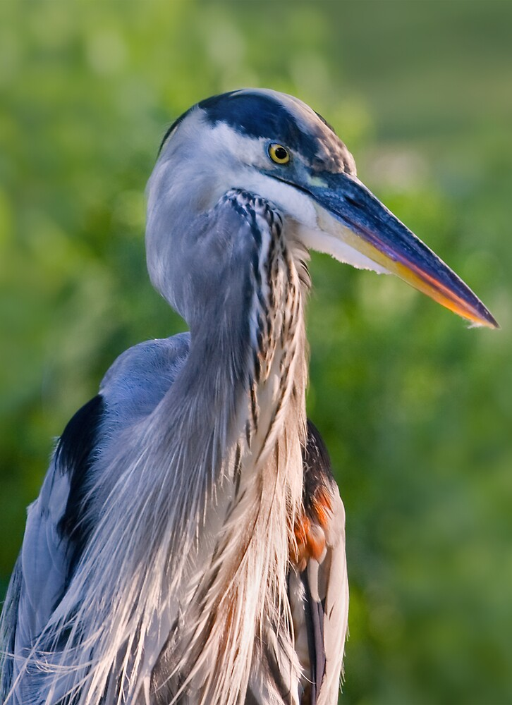 Great Blue Heron on a Windy Day by Delores Knowles