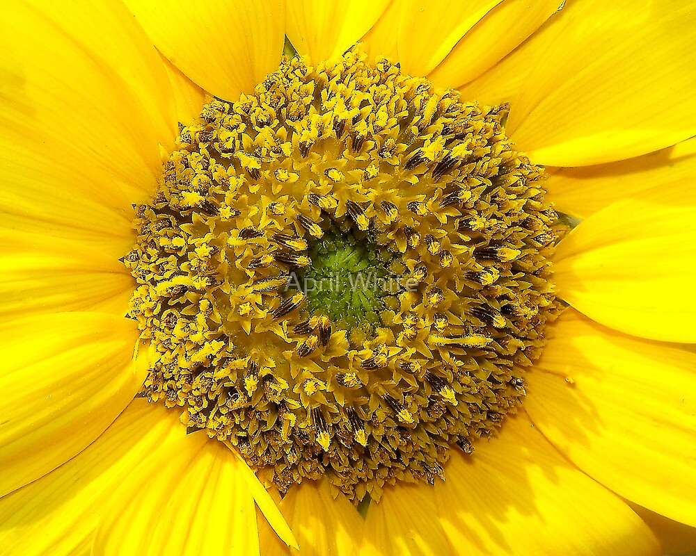 Sunflower Macro 2 by xPressiveImages