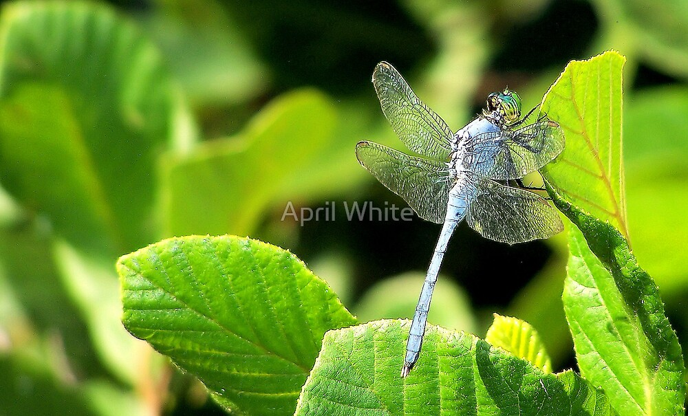 Dragonfly by xPressiveImages