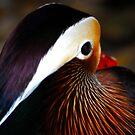 Mandarin Duck by Terry Best