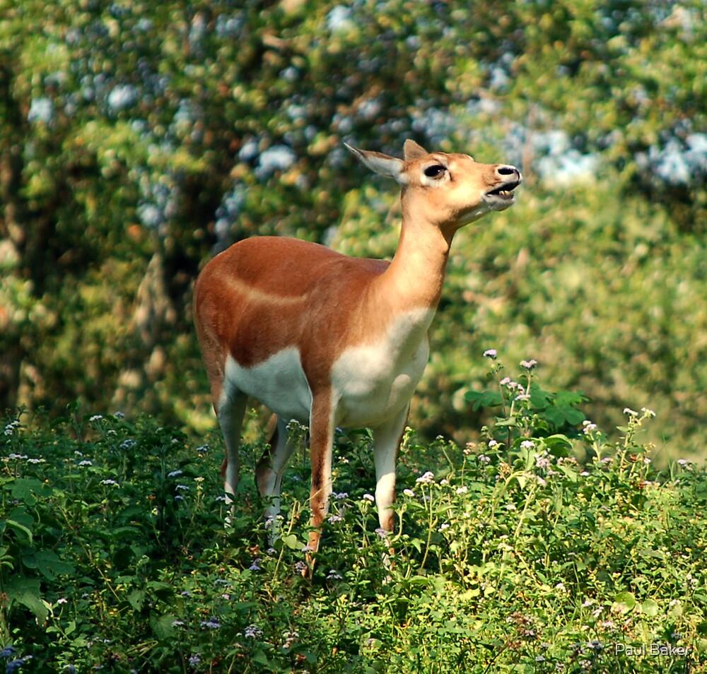 Tranquil Deer by Paul Baker