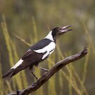 Magpie by robertp