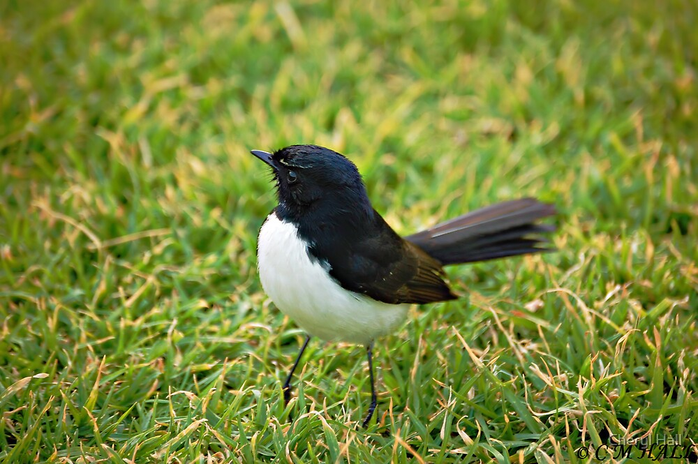 Willy Wagtail. by Cheryl Hall