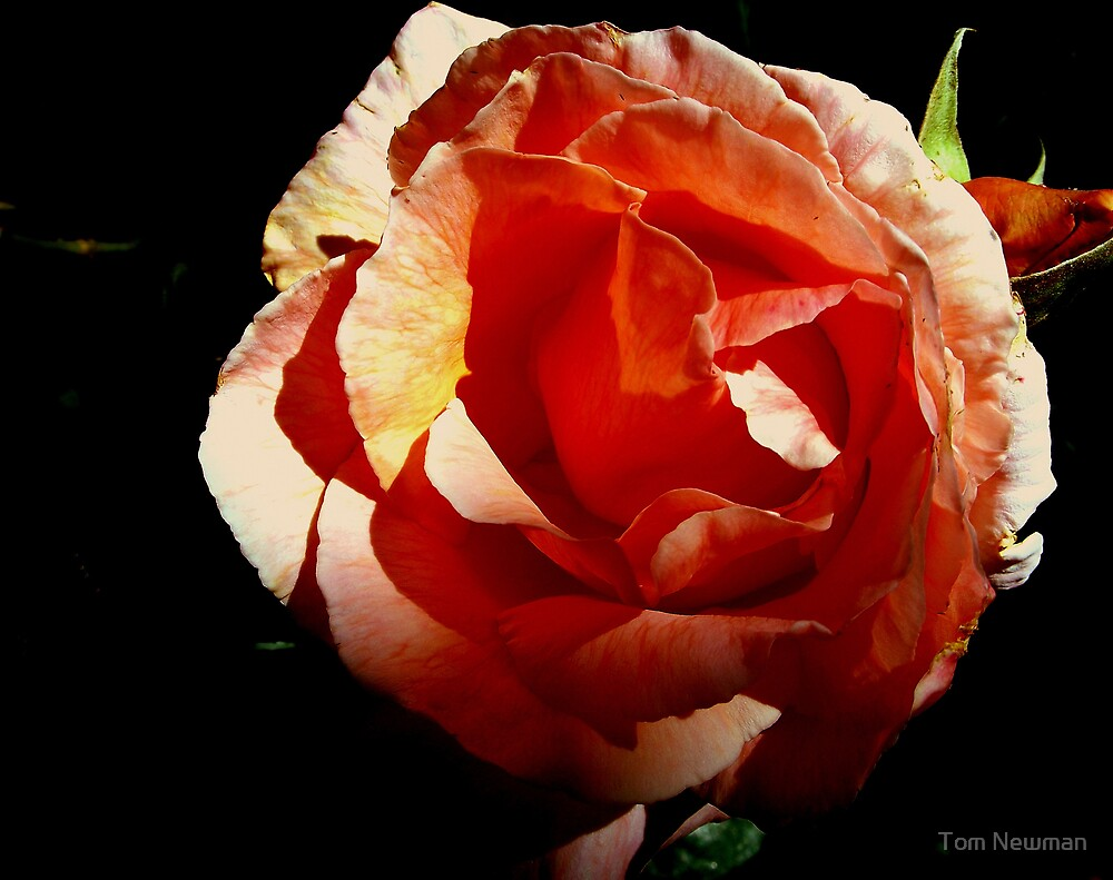 Pink Rose by Tom Newman