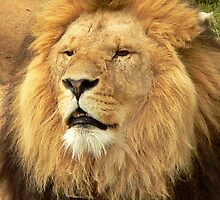 Lion III by Tom Newman