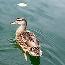 Female Mallard on Candlewood by imagetj