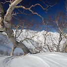 Birch on Happo by Robert Mullner