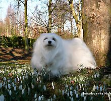 Snowdrop the Maltese -  in the Snowdrop Woods by Morag Bates