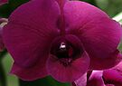 Purple Orchid by Dave Lloyd