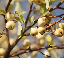 paradise apples by mrivserg