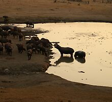 Grumpy Hippos at the watering hole by Sandra Kent