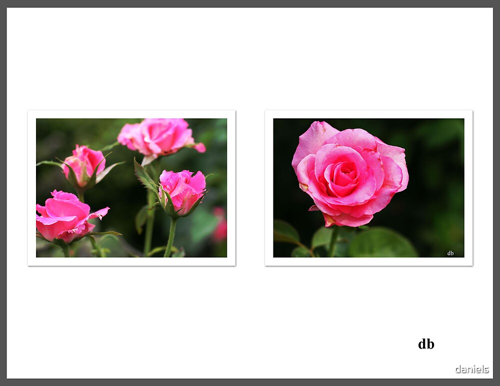 pink roses by daniels