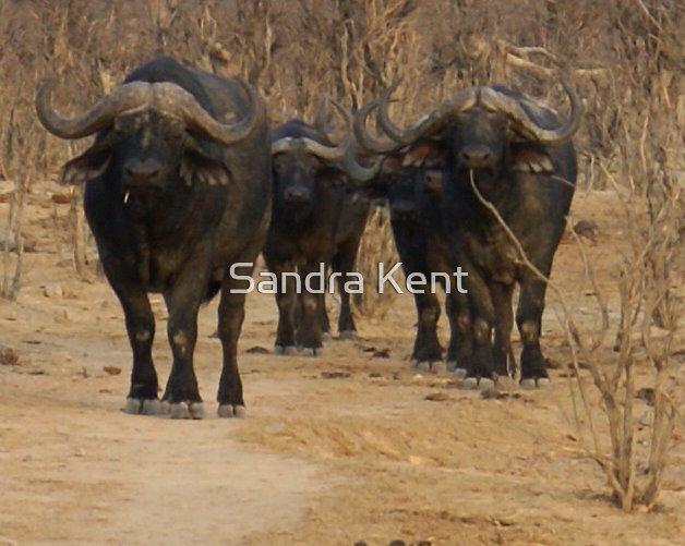Buffalos in the Bush by Sandra Kent