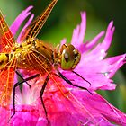 Dragonfly, Orange on Electric Pink by Geoffrey