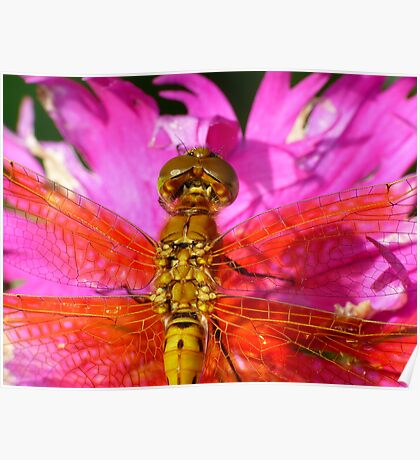 Dragonfly in Pink, Top View Poster