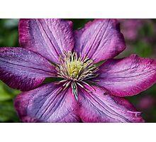 Pink Clematis - Macro Photography Photographic Print