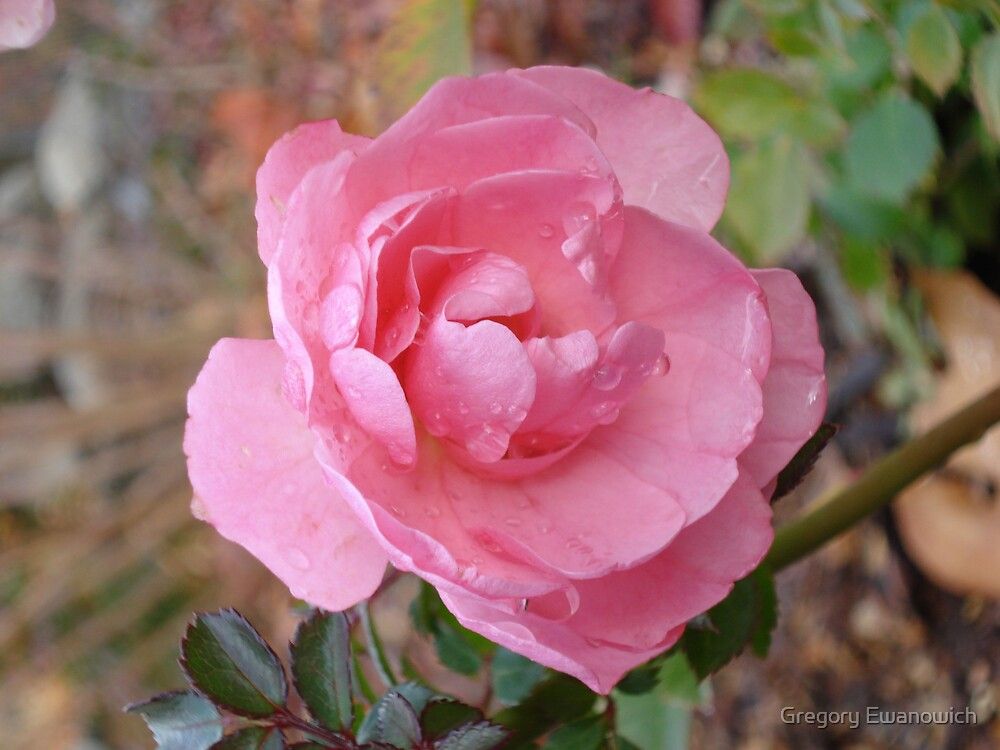 Pink Rose In The Rain by Gregory Ewanowich