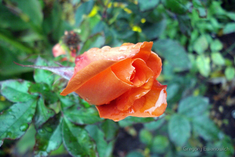 Apricot Rose In The Rain by Gregory Ewanowich