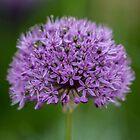 Macro Purple Onion Flower by Pixie Copley LRPS