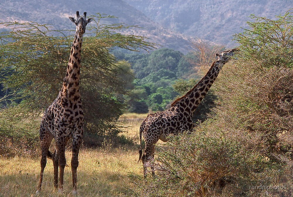Curious Giraffe by randmphotos